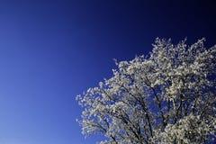 Snö täckte filialer av ett träd Arkivfoto