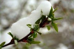 Snö täckte gröna trädbladknoppar på en filial Fotografering för Bildbyråer