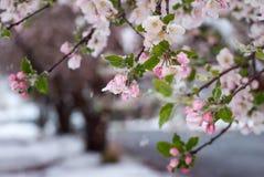 Snö täckte krabbaApple blomningar i den tidiga våren royaltyfri foto