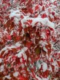 Snö täckte röda lönnlöv fotografering för bildbyråer