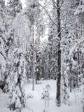 Snö-täckte röda stammar av sörjer och granträd av vinterskogen i frostig mist Arkivbilder