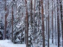 Snö-täckte röda stammar av sörjer och granträd av vinterskogen i frostig mist Royaltyfri Foto