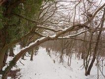 Snö täckte slut för trädskäll upp utvändig skogvinter Arkivbilder