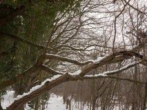 Snö täckte slut för trädskäll upp utvändig skogvinter Royaltyfri Fotografi
