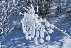 Snö-täckte torkade blommor för vinter skog i förgrunden Lago-Naki den huvudsakliga caucasianen Ridge, Ryssland royaltyfri foto