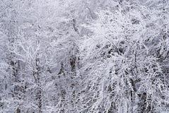 Snö-täckte trädfilialer Royaltyfri Bild