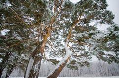 Snö täckte vinterträd Fotografering för Bildbyråer