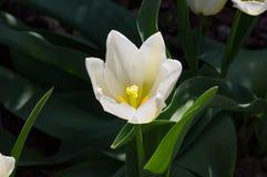 Snö Tulip Bloom Fotografering för Bildbyråer