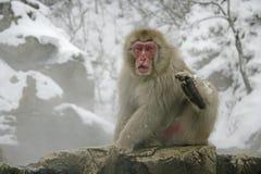 Snöa apan eller japanmacaquen, Macacafuscata Royaltyfri Foto