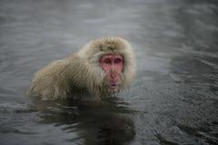 Snöa apan eller japanmacaquen, Macacafuscata Fotografering för Bildbyråer