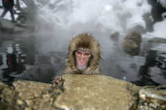 Snöa apan eller japanmacaquen, Macacafuscata Arkivfoton