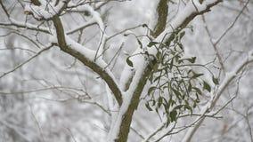 Snöa att falla på bakgrund av mistel på trädfilial lager videofilmer