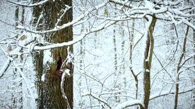 Snöa att falla på bakgrund av trädet i skog arkivfilmer