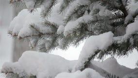 Snöa att falla på ett vintergrönt träd i vinter stock video