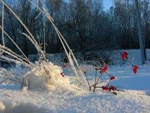 Snöa busken av bär i solen mot bakgrunden av träd Royaltyfri Bild