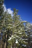 Snöa det dolda granträdet med bakgrund för blå himmel Arkivbilder