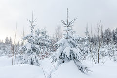 Snöa dolda barrträd i ett vinterskoglandskap Arkivbilder