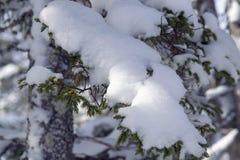 Snöa dolda trädfilialer på en härlig vinterdag Royaltyfria Bilder