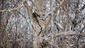 Snöa nedgångar på bakgrund av ett björkträd arkivfilmer
