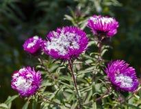 Snöa på blommorna av små trädgårds- krysantemum Royaltyfri Bild