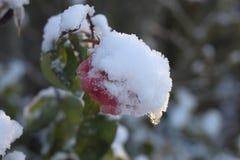 Snöa på filialer och den rosa apelsinrosblomman fotografering för bildbyråer
