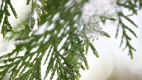 Snöa smältning på knoppar på filialer av vinterträd Closeup av vattendroppar från smältande snö över suddig trädbakgrund arkivfilmer