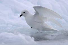 Snöa stormfågeln nära mellanrummet i isen Royaltyfri Foto