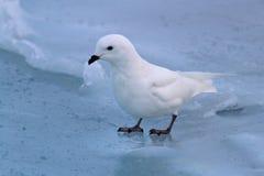 Snöa stormfågeln som står på det djupfrysta havet Royaltyfri Bild
