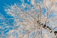 Snöad björk på bakgrund för blå himmel Arkivfoto