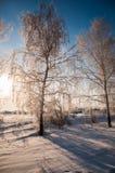 Snöad björk på bakgrund för blå himmel Arkivbild