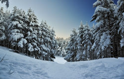 Snöad granskog Royaltyfri Bild
