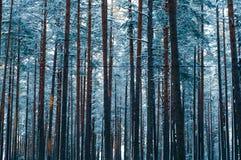 Snöad pinjeskog Arkivfoto