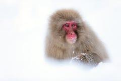 Snöapa Arkivfoto