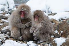 Snöapa Fotografering för Bildbyråer