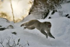 Snöapa i hopp Den japanska macaquen, också som är bekant som snöapan Arkivfoto