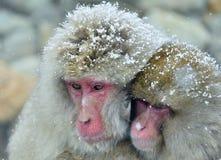 Snöapafamilj som värme sig mot på kallt vinterväder Jigokudani parkerar, Yudanaka Nagano Japan Den japanska macaen Royaltyfri Foto