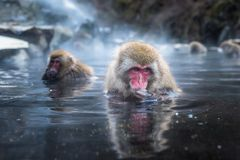 Snöapan eller japanmacaquen i varm vår onsen royaltyfri foto
