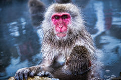 Snöapan på apan parkerar Japan Fotografering för Bildbyråer