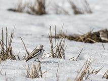 Snöbunting, Plectrophenaxnivalis, sammanträde i snö på ett fält i vår fotografering för bildbyråer