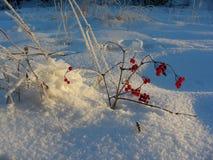 Snöbuske av bär i solen Fotografering för Bildbyråer