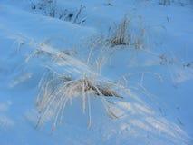 Snöbuske av gräs under en snödriva Royaltyfria Foton