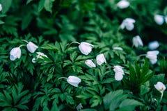 Snödroppar blommar i vår, blom- tapet Royaltyfri Fotografi