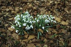 Snödroppar blommar i vår, blom- tapet Fotografering för Bildbyråer