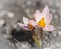 Snödroppar första vårblommor Rosa krokus Arkivfoton