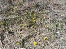 Snödroppar guling blommar, små blommor, våren, solljus, nytt liv, små växter fotografering för bildbyråer