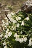 Snödroppar i blom på stenig jordning Arkivfoto