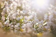 Snödroppar i vårsolen, blom- bakgrund Royaltyfri Fotografi