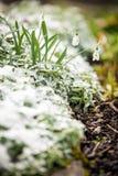 Snödroppar på en iskall säng, begreppsvårbörjan arkivfoto