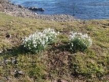Snödroppar på gräs- flodstrand Royaltyfri Bild