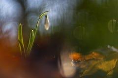 Snödroppar som fotograferas med en inversed projektorlins royaltyfri fotografi